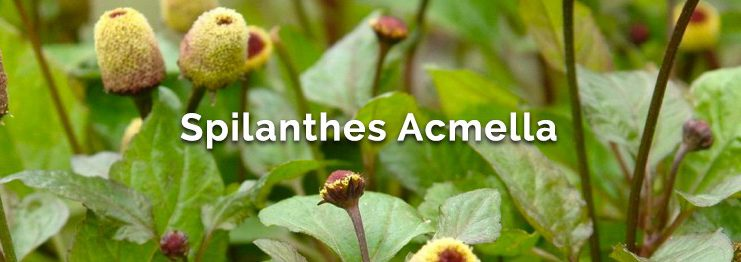 What is Spilanthes-Acmella?