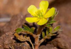 Tribulus-terrestris-flower